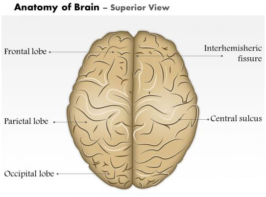 0514 Anatomy Of Brain Superior View Medical Images For Powerpoint ...