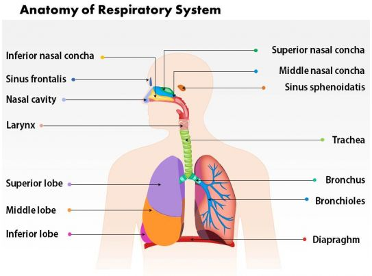 0514 Anatomy Of Respiratory System Medical Images For Powerpoint