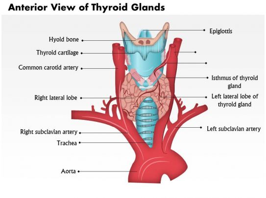 0514 Anatomy Of Thyroid Glands Anterior View Graphics Presentation