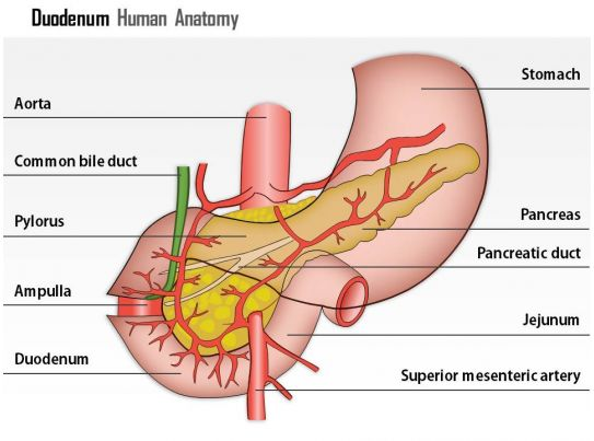 0514 Duodenum Human Anatomy Medical Images For Powerpoint