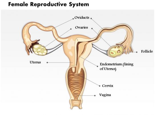 0514 Female Reproductive System Medical Images For