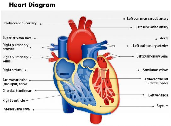 0514 Heart Human Anatomy Medical Images For PowerPoint | PowerPoint ...
