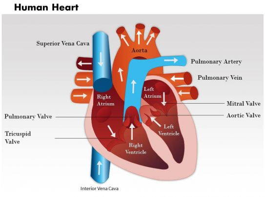Images for diagram of the heart gcse 073code3 get free high quality hd wallpapers diagram of the heart gcse ccuart Image collections