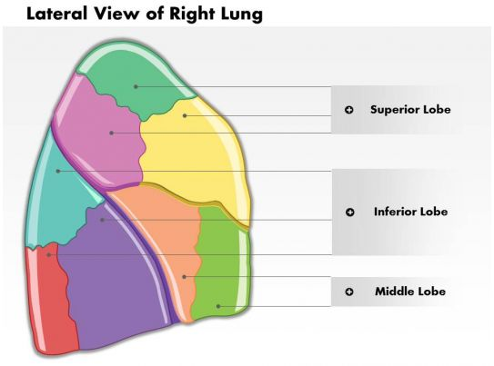 0514 Lateral View Of Right Lung Human Anatomy Medical Images For ...