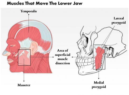 Jawbone Muscle Diagram Great Installation Of Wiring Diagram