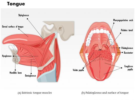 0514 Muscles That Move The Tongue Medical Images For Powerpoint