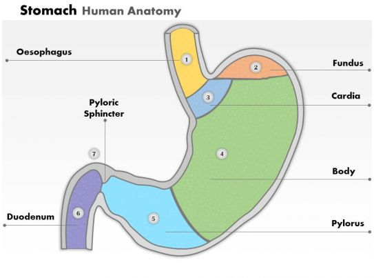 0514 Stomach Human Anatomy Medical Images For Powerpoint Templates
