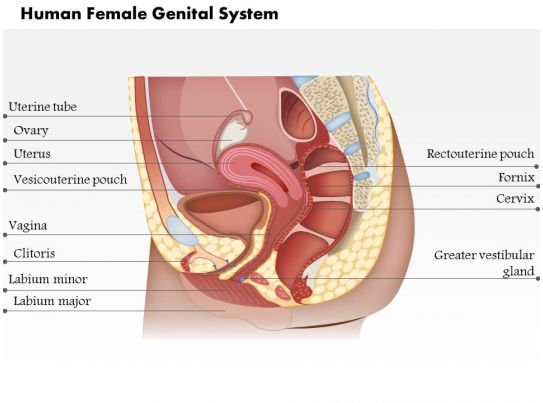 0514 The Human Female Genital System Medical Images For
