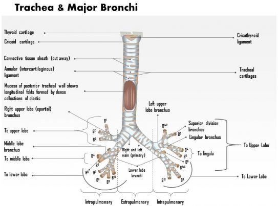 0514 trachea and major bronchi anterior view medical