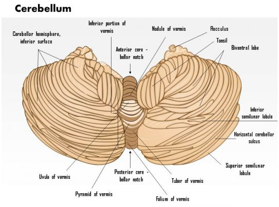 0614 Cerebellum Medical Images For Powerpoint Templates