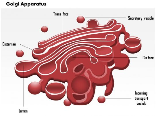0614 golgi apparatus medical images for powerpoint templates 0614 golgi apparatus medical images for powerpoint templates powerpoint presentation slides template ppt slides presentation graphics ccuart Choice Image