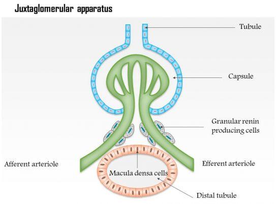0614 Juxtaglomerular Apparatus Jgamedical Images For Powerpoint
