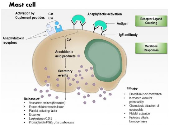0614 mast cell immune system medical images for powerpoint Slide01