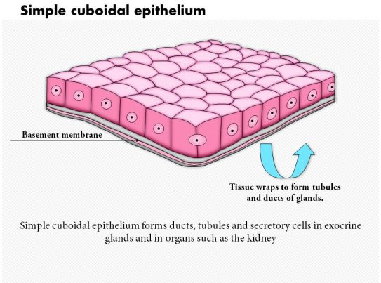 0614 Simple Cuboidal Epithelium Medical Images For