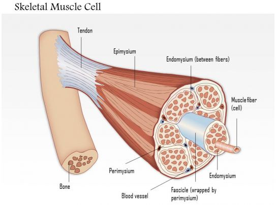 0614 Skeletal Muscle Cell Medical Images For Powerpoint Powerpoint
