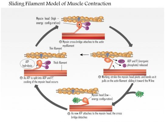 sliding filament theory crossbridge cycling actin and myosin Cross bridge is the binding of myosin heads with exposed actin this releases energy causing myosin in the cocked crossbridge sliding filament theory.