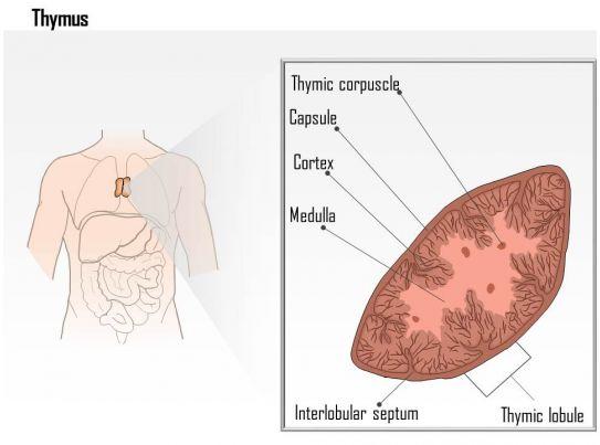 Wunderbar Thymus Diagramm Fotos Menschliche Anatomie Bilder