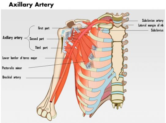 0714 Axillary Artery Medical Images For Powerpoint Powerpoint