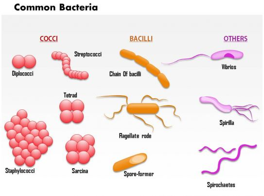 bacteria and d energy e Quick answer also known as true bacteria, eubacteria obtain energy from light and inorganic and organic chemicals these bacteria reproduce asexually from spores that are resistant to dehydration and moist temperatures.