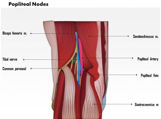 0714 Popliteal Nodes Medical Images For PowerPoint   PowerPoint ...