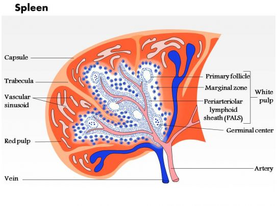 0714 Spleen Medical Images For Powerpoint Powerpoint