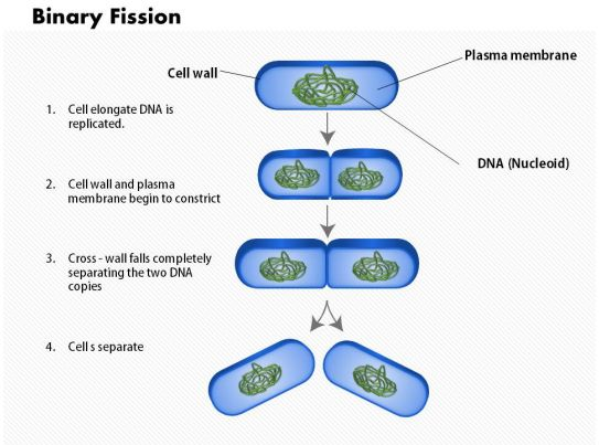 0714 The Process Of Binary Fission Medical Images For