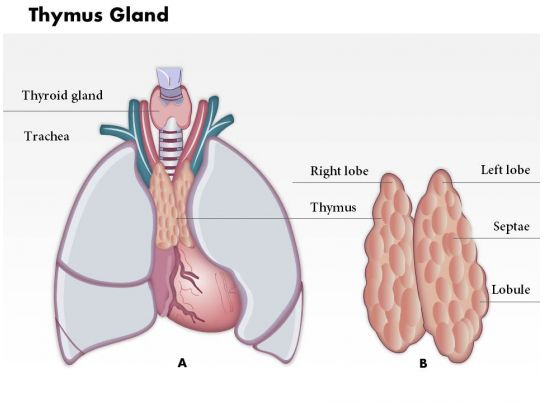 0714 Thymus Gland Medical Images For Powerpoint Slide03