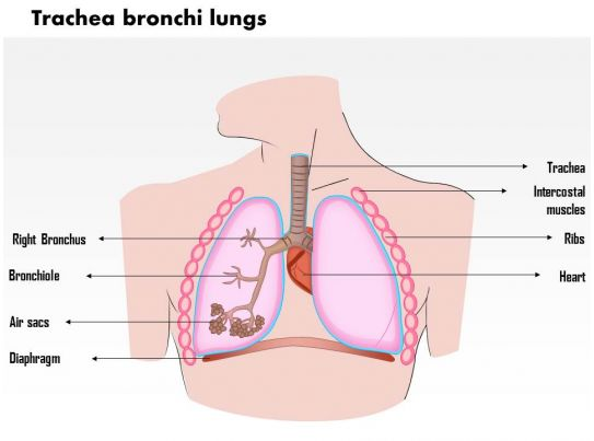 0714 trachea bronchi lungs medical images for powerpoint