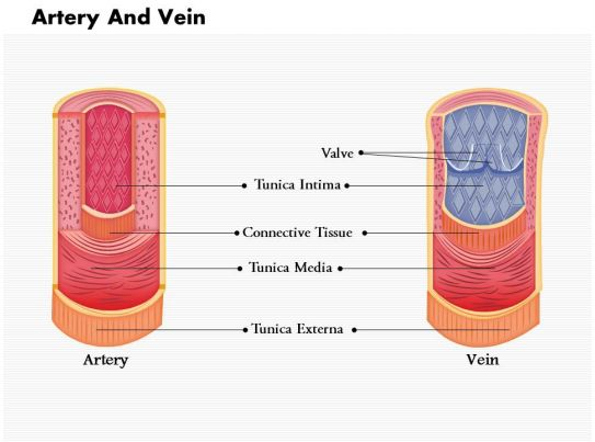 0814 Diagram Of Artery And Vein Medical Images For