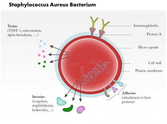 0814 Staphylococcus Aureus Bacterium Medical Images For ... Staphylococcus Bacteria Diagram