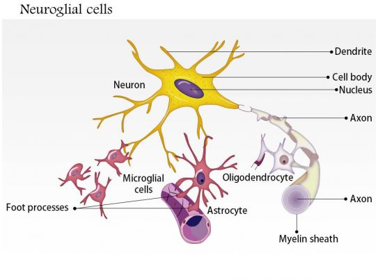 0914 Neuroglial Cells Astrocyte Medical Images For PowerPoint  0914 Neuroglial...