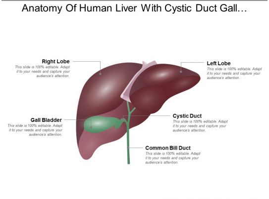 Anatomy Of Human Liver With Cystic Duct Gall Bladder Presentation