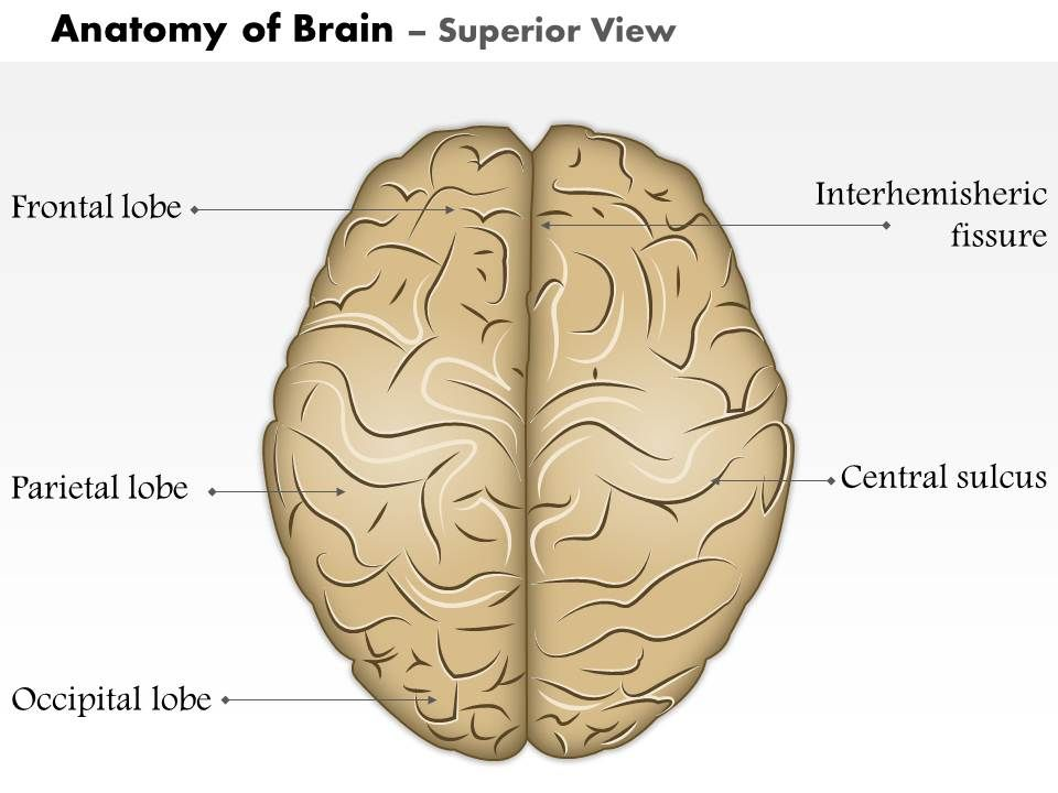 0514 Anatomy Of Brain Superior View Medical Images For Powerpoint