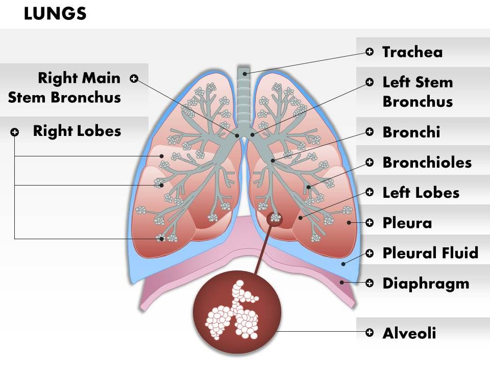 0514 Anatomy Of Human Lungs Medical Images For Powerpoint Template