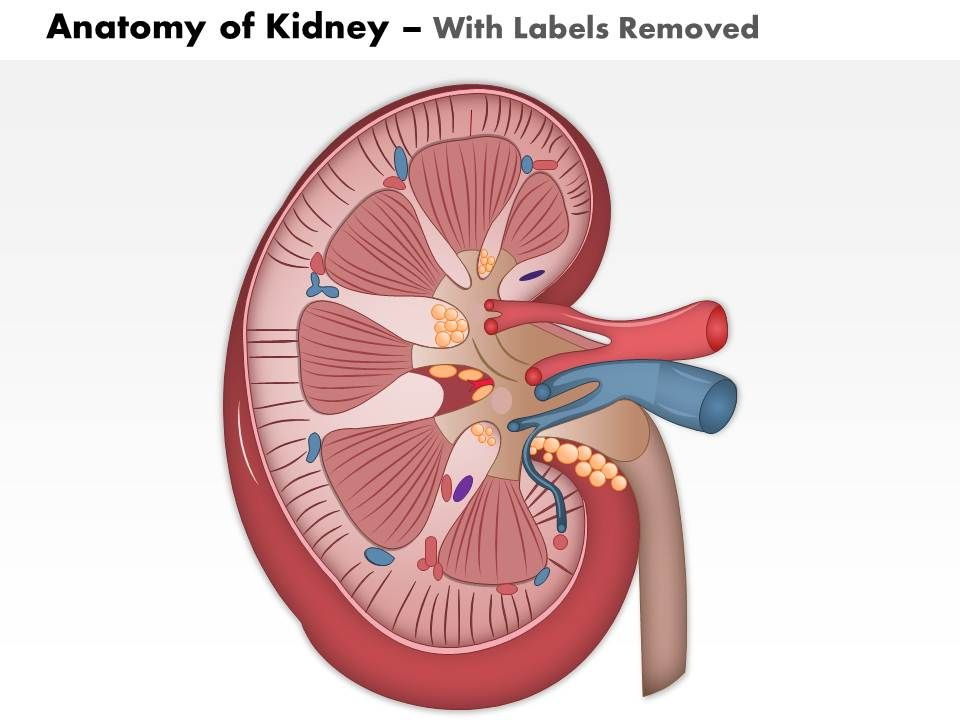 0514 anatomy of kidney medical images for powerpoint 1 0514 anatomy of kidney medical images for powerpoint 1 powerpoint slide template presentation templates ppt layout presentation deck ccuart Gallery