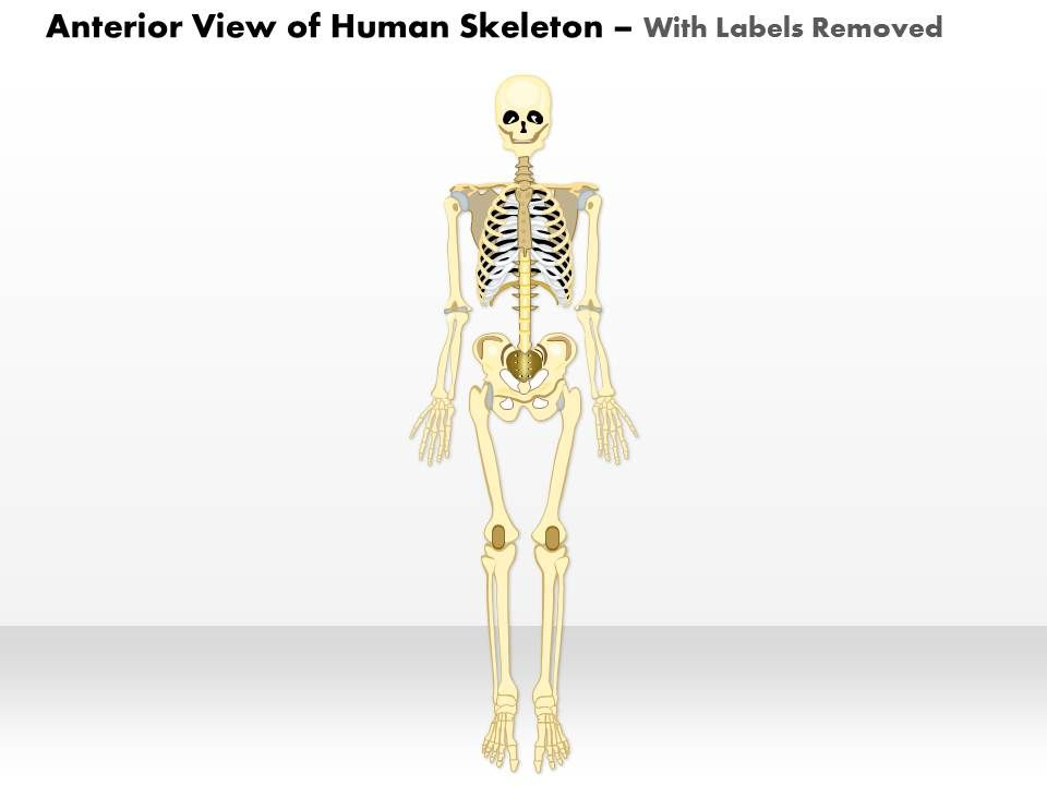 0514 anterior view of the human skeleton medical images for, Skeleton