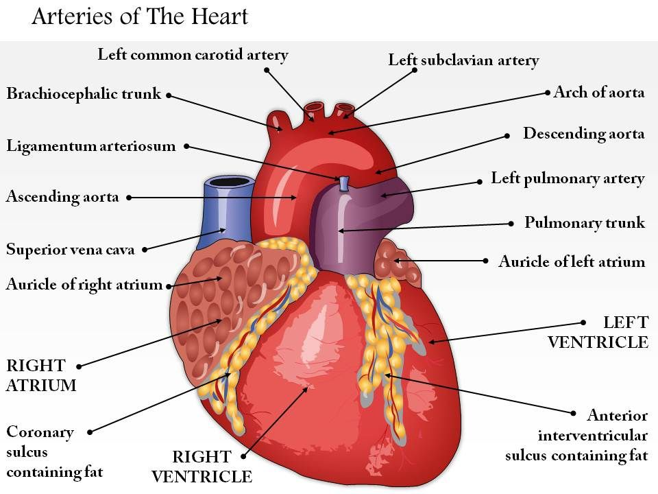 0514 arteries of the heart medical images for powerpoint for Exterior of heart diagram