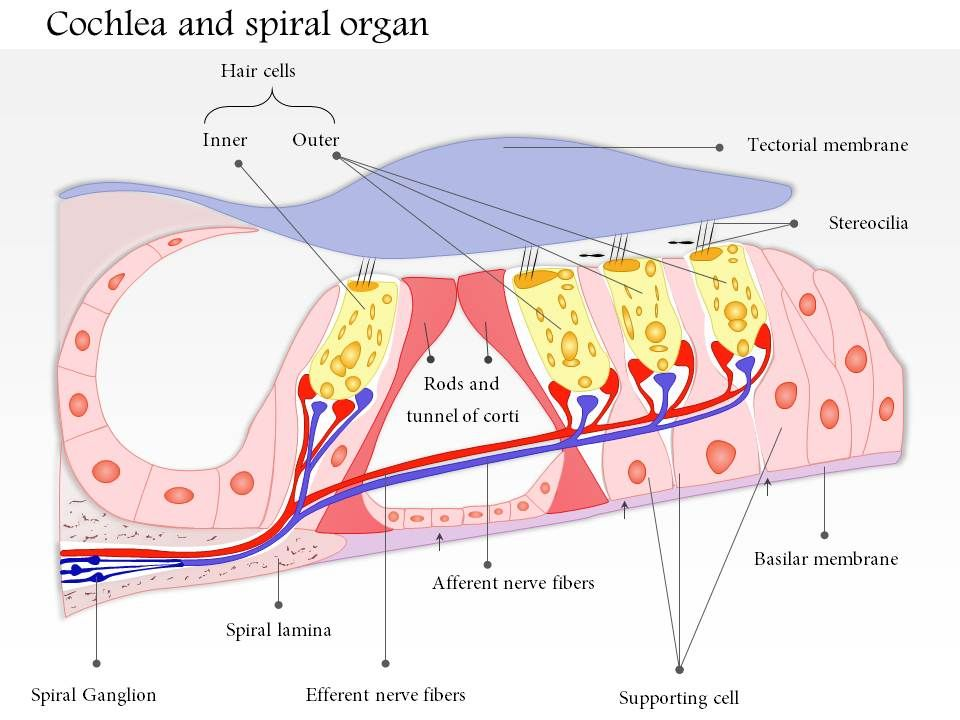 cochlea spiral diagram get wiring diagram figure the anatomy of the ear ppt