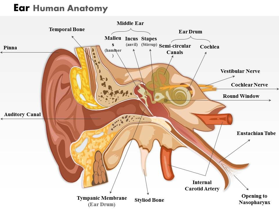 0514 Ear Human Anatomy Medical Images For Powerpoint Powerpoint
