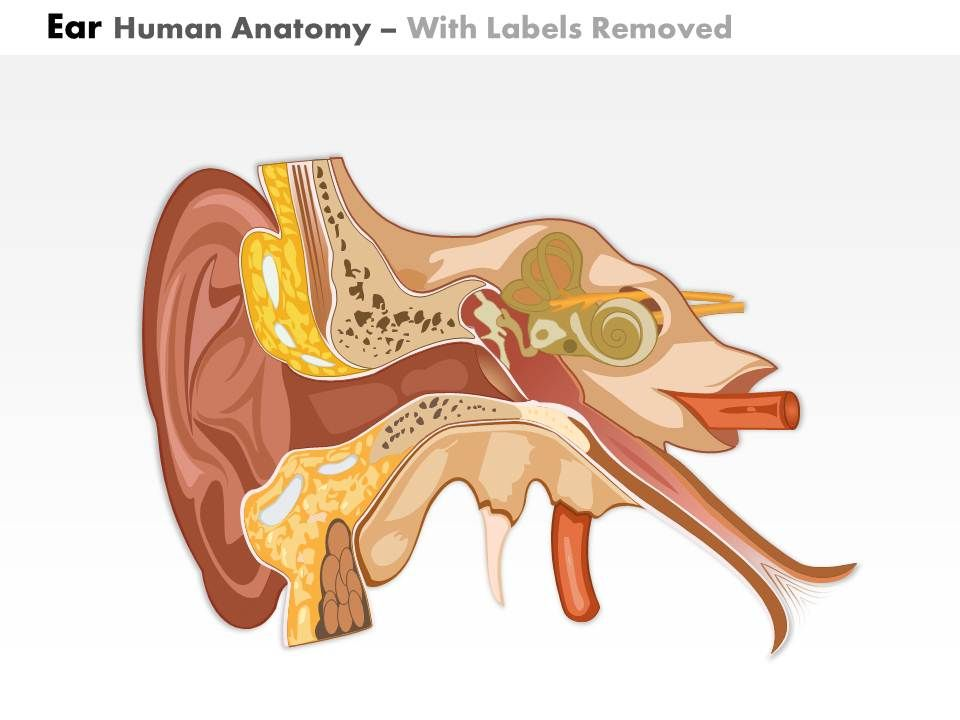 0514 ear human anatomy medical images for powerpoint Slide02