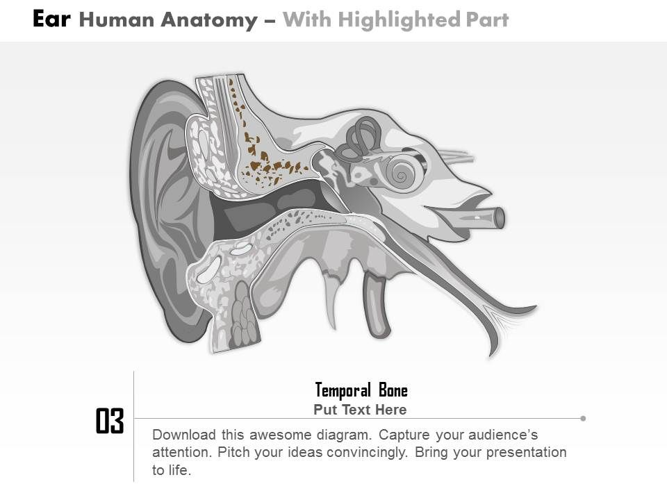 0514 ear human anatomy medical images for powerpoint