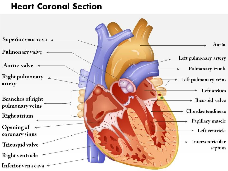 0514 heart coronal section medical images for powerpoint | ppt, Presentation templates