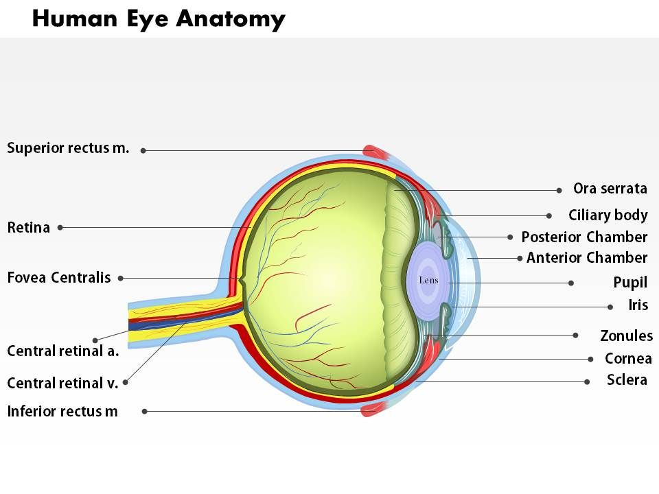 0514 human eye anatomy medical images for powerpoint for Anatomy ppt templates free download