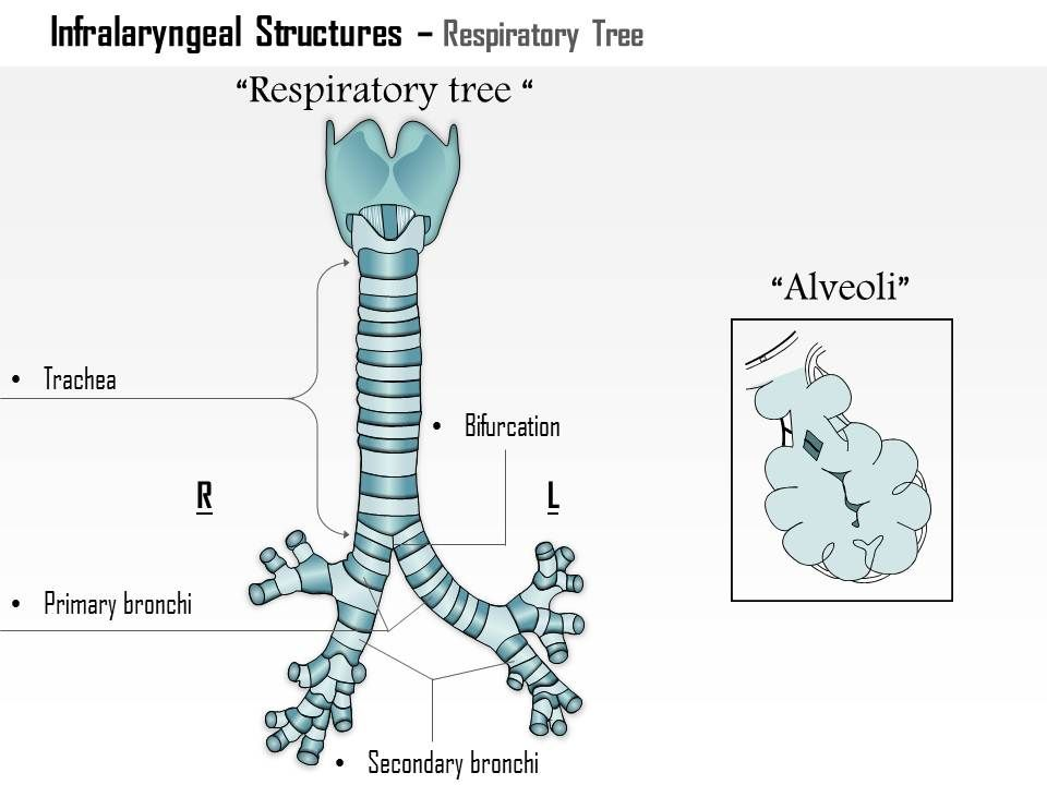 0514 Infralaryngeal Structures Respiratory Tree Medical Images For