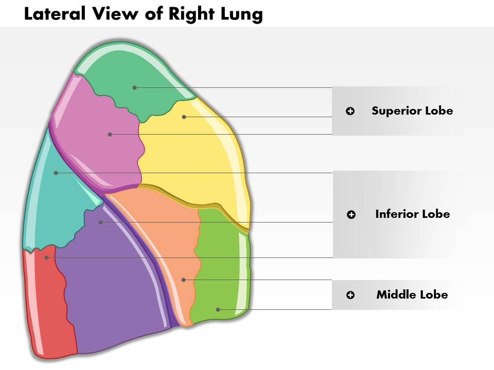0514 Lateral View Of Right Lung Human Anatomy Medical Images For