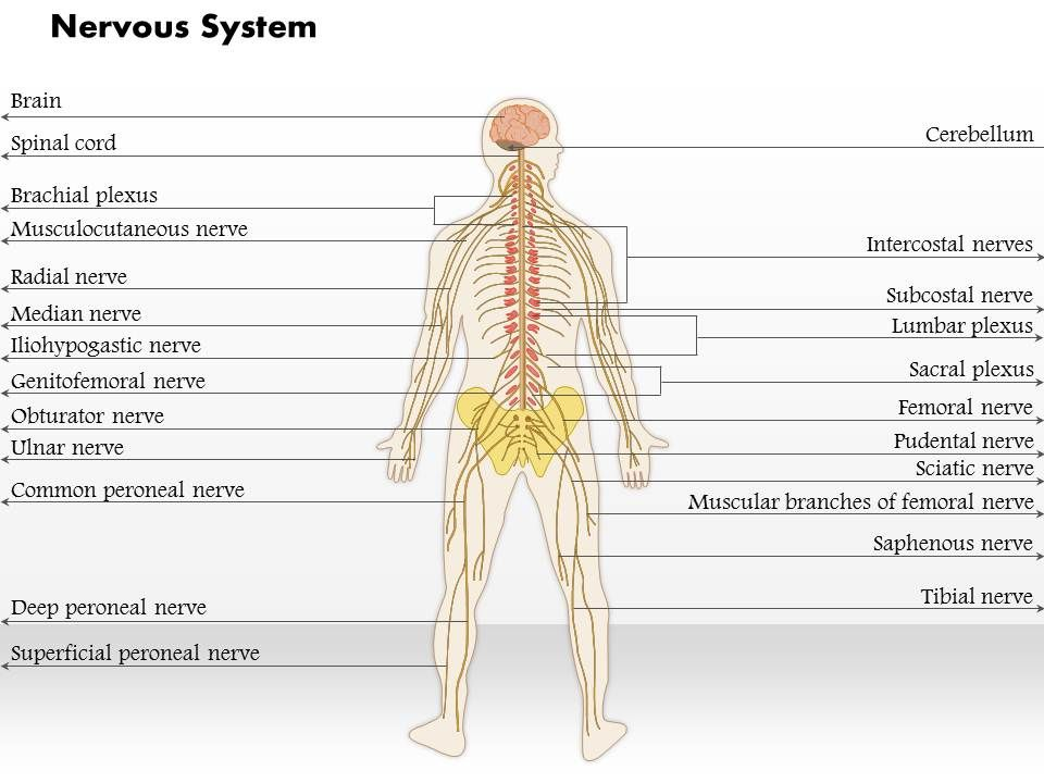 0514 nervous system medical images for powerpoint powerpoint slide 0514nervoussystemmedicalimagesforpowerpointslide01 0514nervoussystemmedicalimagesforpowerpointslide02 toneelgroepblik Images