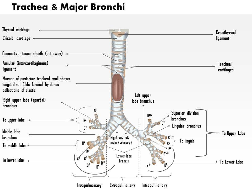 0514 trachea and major bronchi anterior view medical