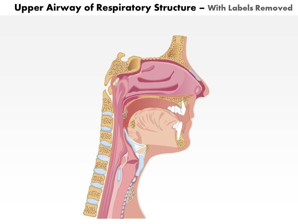 0514 upper airway of respiratory structure medical images for ...