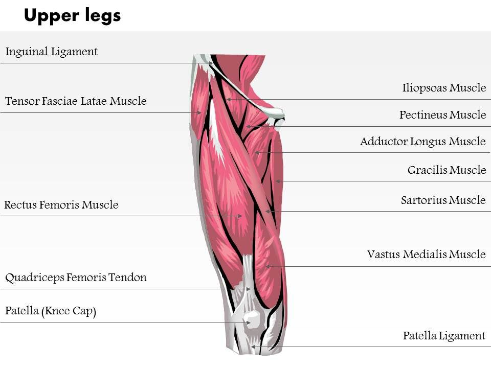 Upper leg muscles diagram frontal wiring diagram 15359809 style medical 1 musculoskeletal 1 piece powerpoint rh slideteam net name of upper thigh muscles leg muscle and skeletal structure ccuart Image collections