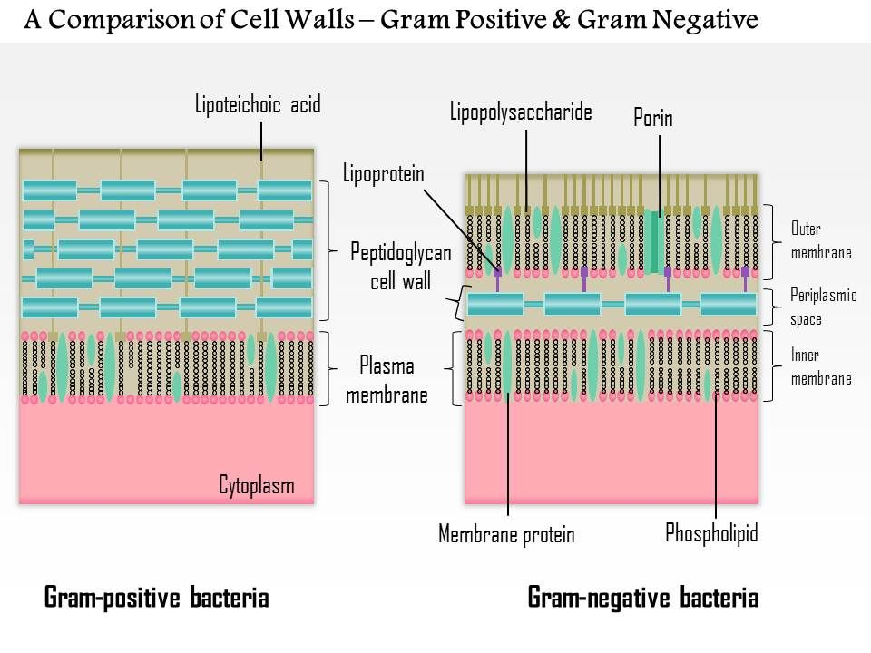0614 a comparison of the cell walls gram positive and gram negative 0614acomparisonofthecellwallsgrampositiveandgramnegativemedicalimagesforpowerpointslide01 ccuart Gallery